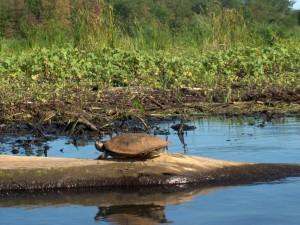 Turtle on Delta Island