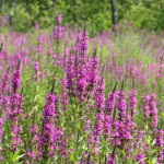Purple Loosestrife by Liz West