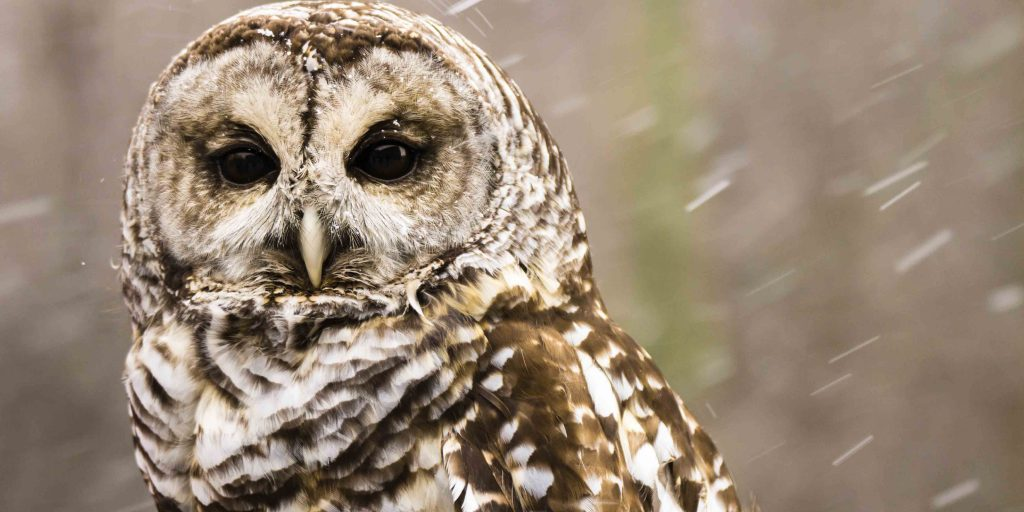 Large Barred Owl close up in snow