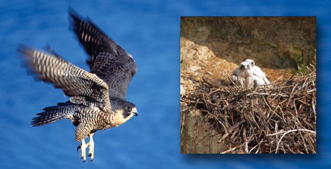peregrine falcon, wildlife habitat, cliffs